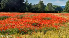 A la recherche du rapace (MarcEnGalerie) Tags: fleurs flowers balade coquelicot lesmilles provence france fra