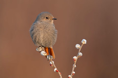 black redstart (leonardo manetti) Tags: bird nature red winter colours naturephotography field natural nikkor countryside green morning black uccello wood forest fields dawn redstart nikon d850 animale