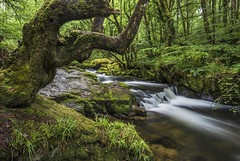 *Rainy day on the River Fowey/Golitha Falls* (Albert Wirtz @ Landscape and Nature Photography) Tags: river tree waterfalls rapids stromschnellen england unitedkingdom southwestengland vereinigteskönigreich summer sommer natur nature green grün plants pflanzen fern farn rocks moos moss mossy langzeitbelichtung longexposure lolitafalls riverfowey landscape paesaggi paysage campagne campagna campo scenic idyllic idylle romantic nikon d810 creek forest water liskeard bodminmoor cornwall draynes albertwirtz albertwirtzlandschaftsundnaturfotografie albertwirtznaturfotografie albertwirtzlandscapeandnaturephotography albertwirtzphotography paisaje waterphotographing waterflow wateronthemove elfen zauberwald enchanted