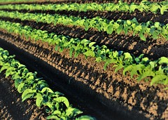 June28Image3216 (Michael T. Morales) Tags: lettuce leaflettuce rows furrows farm green montereycounty shadows salinasvalley