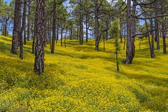 *La Palma @ Spring Forest II* (Albert Wirtz @ Landscape and Nature Photography) Tags: flower wildflower natur nature landscape paesaggi paysages campagna campagne albertwirtz springforest frühlingswald spring forest tree pine pineforest pinienwald kanarischeinseln canaryisland island isle lapalma islabonita nikon d810 sunny sonnig gelb yellow cumbrevieja parquenational parquenationaldecumbrevieja nationalpark sanjuan volcano vulkanisch vulkansanjuan wandern hiking trail cumbreviejatrail clover klee gelberklee yellowclover blossom blütezeit duft scent islascanarias espana spanien spain españa albertwirtzlandschaftsundnaturfotografie albertwirtzlandscapeandnaturephotography albertwirtzphotography albertwirtznaturephotography elpaso thewanderlust paisaje