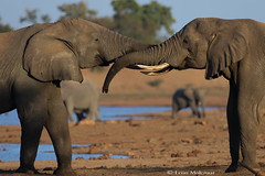 Cuddling Elephants (leendert3) Tags: leonmolenaar southafrica krugernationalpark wildlife nature mammals africanelephant ngc npc coth5