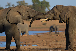 Cuddling Elephants
