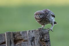 R18_4505 (ronald groenendijk) Tags: cronaldgroenendijk 2018 athenenoctua littleowl rgflickrrg animal bird birds copyrightronaldgroenendijk europe nature natuur natuurfotografie netherlands outdoor owl owls ronaldgroenendijk steenuil uil uilen vogel vogels