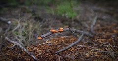 Brenizer Branch (Eddy Summers) Tags: brenizer brenizermethod bokeh bokehpanorama panorama samyang8514 sammy85 samyang85mm14 pentaxk1 pentaxaustralia pentax k1captures lawson bluemountains bluemountainsnationalpark nsw australia