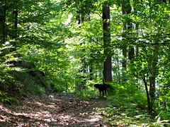 véleménynyilvánítás / expressing opinion (debreczeniemoke) Tags: nyár summer erdő forest fa tree kutya dog frakk erdélyikopó transylvanianhound olympusem5