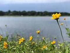 A bit of color along today's bike ride. (kevinthoule) Tags: nature sky water lakephalen flowers minnesota saintpaul