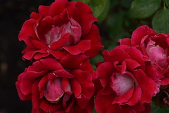 DSC04082 (photorandy2011) Tags: britishcolumbia victoriaisland scenery stanleypark flowers