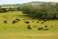 Arlington Reservoir_29 (Natalie Banton) Tags: 2018 35mmlens june arlingtonreservoir countryside cows farmland landscapes nikon rollinghills