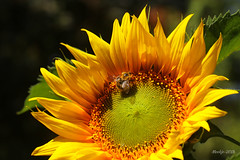 IMG_012397 - Bee the sun of the flower (Monique van Gompel) Tags: bee bij zonnebloem sunflower flowers yellow summer zomer sunshine flower