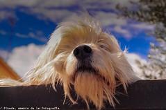 Chewbacca (J.Pineda66) Tags: dog gos perro friend sky