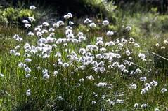 Étang de Labant (Ariège) (PierreG_09) Tags: ariège pyrénées pirineos couserans auluslesbains coumebière labant étang lac étangdelabant flor flore fleur plante linaigrette