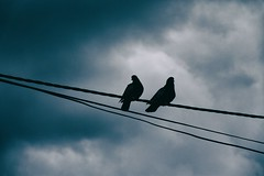 23 Skiddoo 52 / Wire Birds 1 (23 Skiddoo) Tags: birds wire pigeons friends blue clouds sky