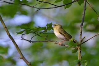 Wood Warbler, Pouillot siffleur (Phylloscopus sibilatrix) - Montzen, Bois de Hees, BELGIUM