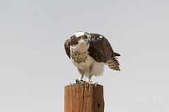 Female Osprey keeping watch