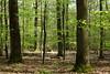 Deciduous Forest (Wellandok) Tags: oak beech forest green spring
