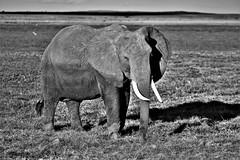 Tembo b&w (Tavernero) Tags: bw safari amboseli africa amboselinationalpark aa wildphotografy wild wildlife wildlifephotografy blackwhite kenia travel travelphotgrafy travelphotogray travelphotografy tembo elefante elephant