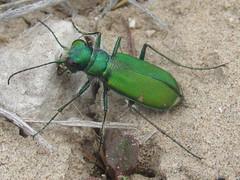 Cicindela denverensis, female (tigerbeatlefreak) Tags: cicindela denverensis insect tiger beetle coleoptera cicindelidae nebraska