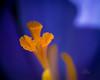 Yellow and blue (_Matt_T_) Tags: smcpa100mmf4macro spring extensiontubes tamronf14xpzafbbarmc4 tubes garden crocus closefocus