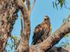 Wedge-tailed Eagle (Aquila audax) (Arturo Nahum) Tags: australia aves animal arturonahum ave airelibre birdwatcher bird birds wildflife wild nature naturaleza naturephotography pajaro pajaros wedgetailedeagle aquilaaudax