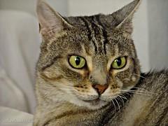 Dolsa 008 (adioslunitaadios) Tags: gato gatocomún mascota macro fujifilm animal interior relax dolsa