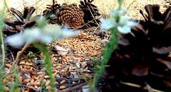 (yol açık yola çık) Tags: wheat pinecone nature