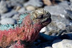 Marine Iguana (S Walker) Tags: galapagos islands south america chile wildlife nature marine iguana lizard