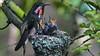 Anna Hummingbird Nest. (photosauraus rex) Tags: birds hummingbird hummingbirdnest anna vancouver bc canada calypteanna