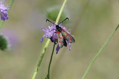 Burnet moth (ocelotcreative) Tags: burnetmoth moth wildlife ukwildlife londonwildlife