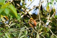 Fiery-capped Manakin.. Machaeropterus pyrocephalus..Manu Peru (geolis06) Tags: geolis06 pérou peru perú amériquedusud southamerica manu amazonie amazonia rainforest jungle forêt forest madrededios biospherereserve parcnationaldemanú manúnationalpark 2016 patrimoinemondial unesco unescoworldheritage unescosite pantiacollatour nikon nikond7200 sigma sigma150600mmf563dg tropicalbird manakintêtedefeu nature oiseauxpérou perounature perubirds manakin fierycappedmanakin machaeropteruspyrocephalus