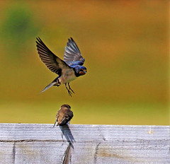 (acerman17) Tags: flying flight fence meadow nature wildlife