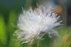 Soft and fluffy (Through Serena's Lens) Tags: dryasoctopetala wildflowers floral flower delicate fluffy soft seeds nature canoneos6dmarkii macro dof bokeh silky outdoor 7dwf