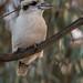 Laughing kookaburra (crispiks) Tags: laughingkookaburra ettamogah nsw birdlife nikon d500 70200 f28 kookaburra