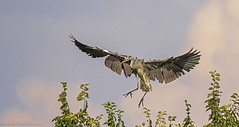 airone cenerino, grey heron .. (margit-luitpold2005) Tags: greyheron heron wildlife flying wings feathers sky clouds landing