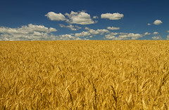 Simple (Matt Champlin) Tags: simple beautiful summer harvest wheat grain farm farming golden breeze awesome endless sky flx newyorkstate upstatenewyork vacation holiday nature peace peaceful canon 2018 ahhh tranquil paradise country rural