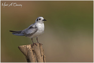 The Whiskered Tern!