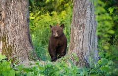 Curious Little Bear (Ania Tuzel Photography) Tags: canada cub exploring forest nature blackbear evening