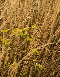 Wild parsnip amongst grasses 703_038 raw crop
