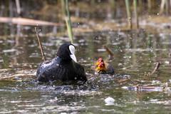 Making a Splash (CJH Natural) Tags: eurasiancoot bläshuhn fulicaatra coot chick mother parent nature splash water bird vögel avian
