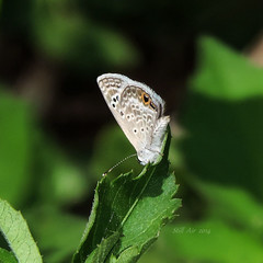 Hemiargus isola (aka Echinargus isola) (Reakirt's Blue) (B00051, MX0001) (Butterflies in Still Air) Tags: yaxcucul yucatán 墨西哥 mx