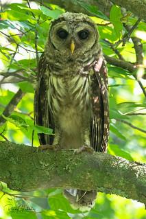 Barred Owl - Strix varia   2018 - 1