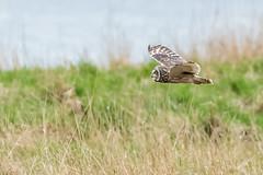 Short Eared Owl (Sd_neo) Tags: parkgate shortearedowl england unitedkingdom gb