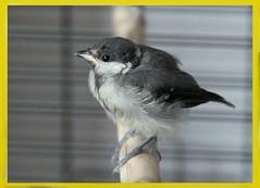 Charlyne Bird (Etching Stone) Tags: bird charlene charlyne cage brancher box bath 70 size 29 18 yesterday