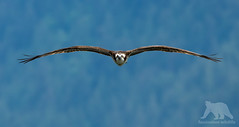 Osprey (fascinationwildlife) Tags: animal wild wildlife nature natur bc kanada canada osprey fischadler inflight wings profile low raptor raubvogel vogel