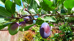 In my garden (Sandy Austin) Tags: panasoniclumixdmcfz70 sandyaustin massey auckland northisland newzealand mygarden pruneplum fruit purple