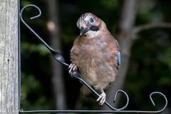The thinker (Knutsfordian) Tags: jay juvenile bird corvid garrulus glandarious garden outdoor woodland nature