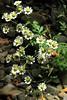*Tanacetum parthenium, FEVERFEW (openspacer) Tags: asteraceae creek feverfew jasperridgebiologicalpreserve jrbp nonnative tanacetum