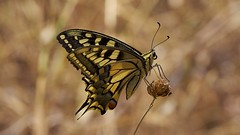 swallowtail, Papilio machaon ssp. gorganus (David_W_1971) Tags: mallorca2018 butterfliespapilionidae