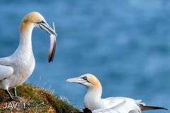 Gannet love ..._0050 (George Vittman) Tags: bird feather scotland gannet nikonpassion wildlifephotography jav61 jav61photography fantasticnature
