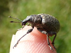 Weevil (Peanut1371) Tags: weevil insect bug finger nationalgeographicwildlife